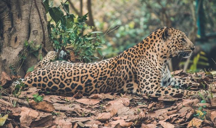 Zanzibar Leopard Sighting